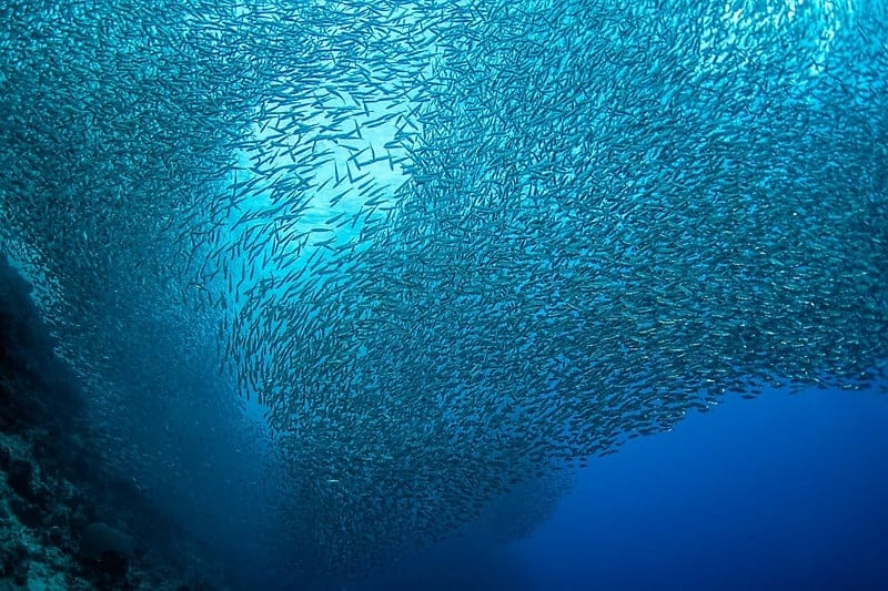 Incredible School of Sardines Moalboal