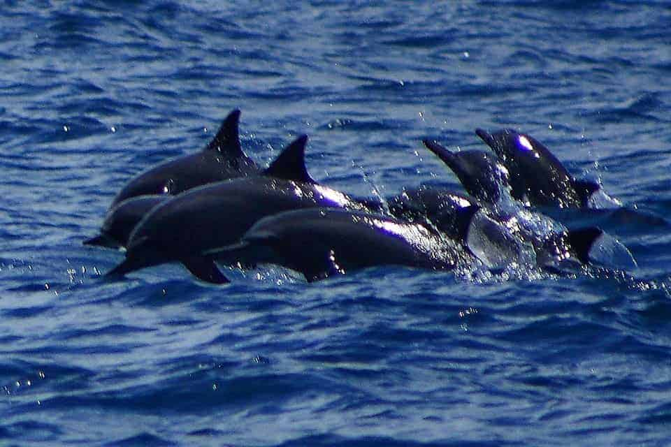 Dolphin-Watching in Tanon Strait